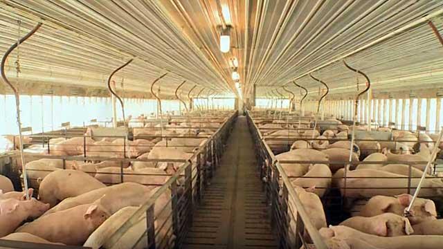 На ферме надо соблюдать чистоту