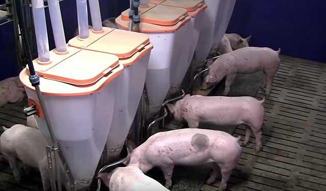 Необходимо следить за чистотой в свинарнике