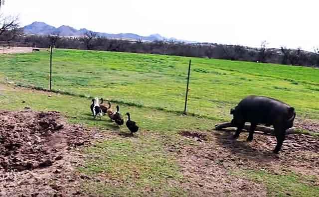 Не стоит держать свиней рядом с другими домашними питомцами