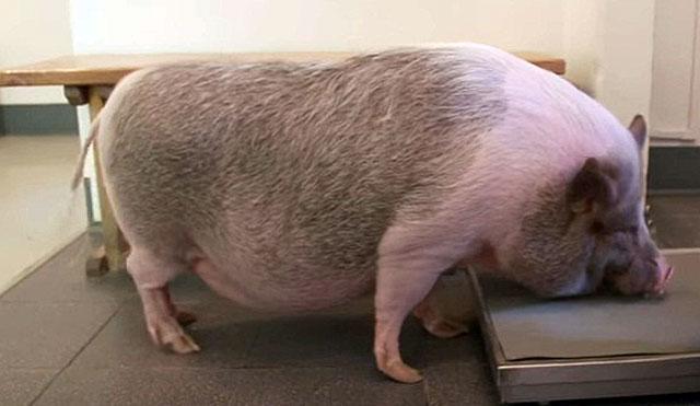 Сыворотка против рожи свиней инструкция (таблица)