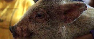 Опасная патология может лишить животного жизни