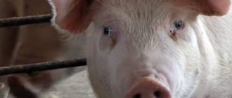 Свинья - переносчик яиц глистов