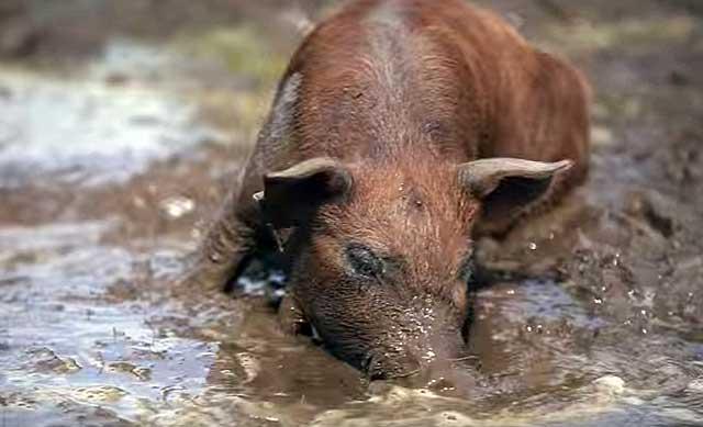 Прежде чем добраться до человека, паразит живет внутри свиньи