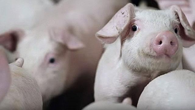 Свинья - промежуточный хозяин паразита