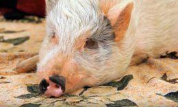 Почему свинья лежит и не ест