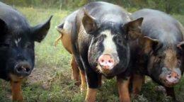 Применение Ивермека для свиней