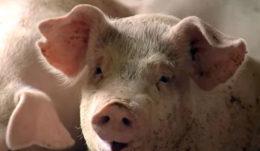 О трансмиссивном гастроэнтерите свиней