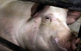 О цистицеркозе свиней