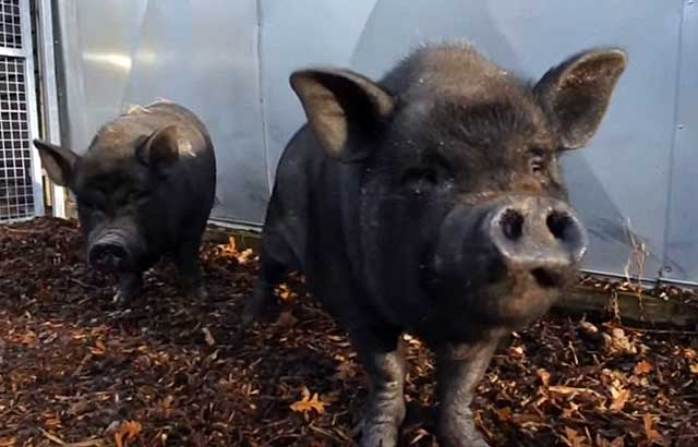 Мясо свиней этой породы отличается вкусом