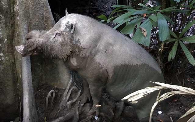 Из-за истребления поголовья есть риск дальнейшего вымирания