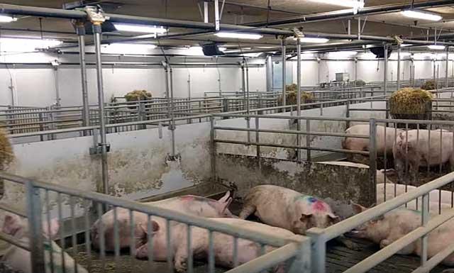 Мясо на прилавках чаще всего является продукцией больших ферм