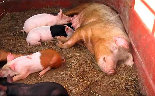 От одной свиноматки можно получить от 8 до 12 поросят