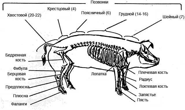 Схема строения скелета свиньи