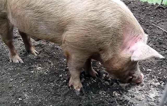 Похожи на свиней породы крупной белой