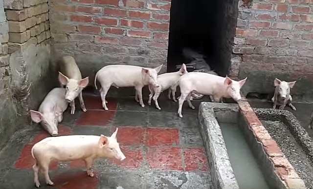 С свинарнике должно быть сухо и тепло