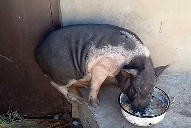 Животное может подхватить заразу через корм или воду