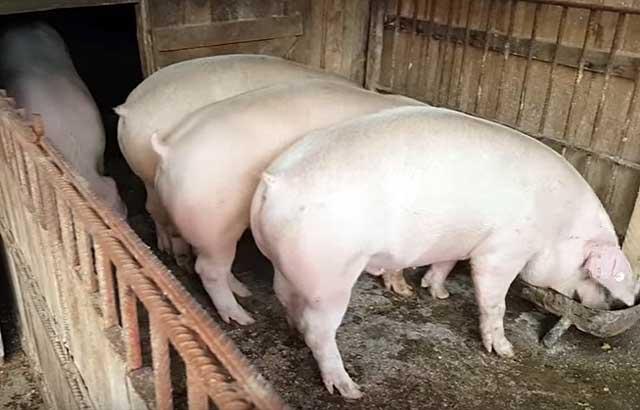 При желании можно правильно откормить и крупных белых свиней