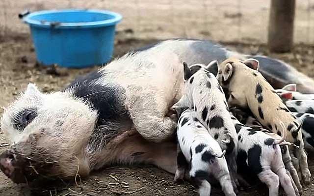 Молодняк может заболеть, если у мамы мало молока