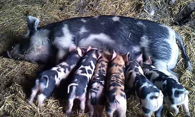 От одной свиноматки можно получить около 10 поросят