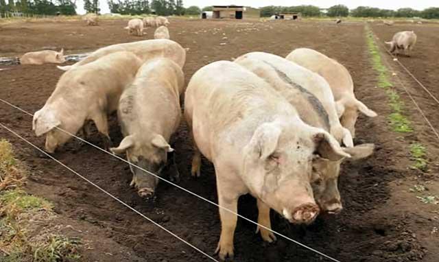 Постепенно организовывались крупные фермы
