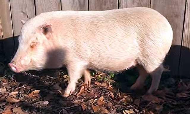 При первой беременности свинья ест и за себя и за малышей