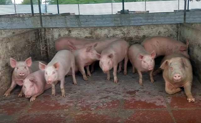 Обычных свиней заводят для получения различной продукции