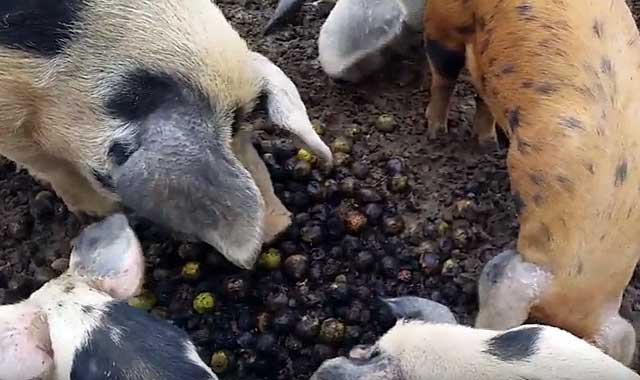 Свинки любят каштаны