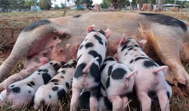 Свиноматки очень плодовиты