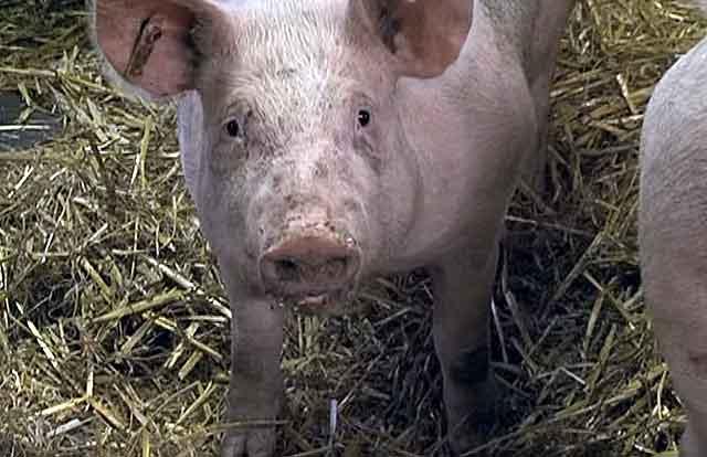 Одна особь съедает до забоя около 400 кг различных кормов