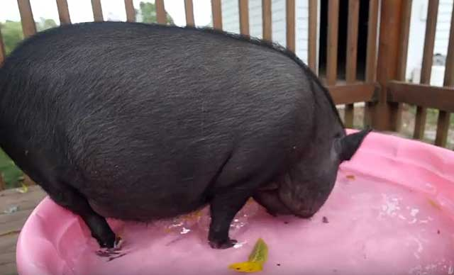 При необходимости свиноматке придется помочь