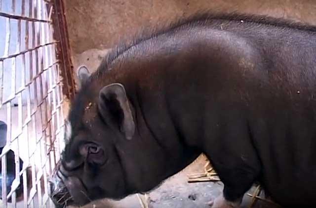 От одной свиноматки можно получить до 24 поросят в год
