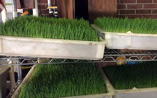 Свежая зелень из пророщенных зерен
