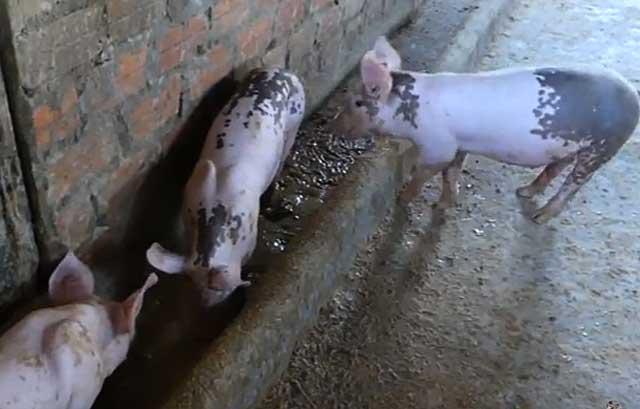 Ливенские свиньи неприхотливы в еде