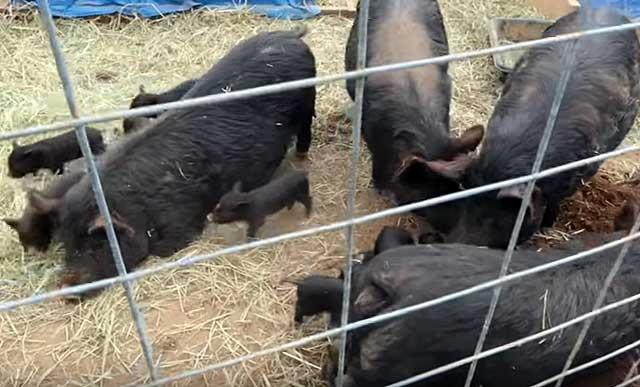 Пускают на мясо к 7-8 месяцам