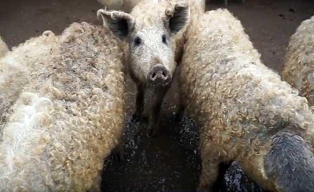 Животные с кудрявой шерстью