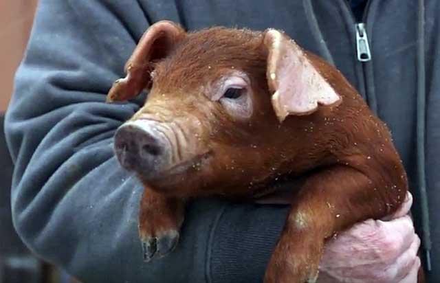 Спермодозы свиней породы дюрок