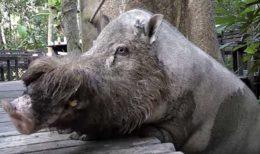 Бородатые свиньи с острова Борнео