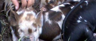 Одна свинья может принести до 12 малышей за раз