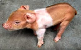 Строение копыта свиньи