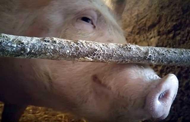 anons1-17 Почему поросята грызут доски, свиньи грызут полы почему (фото)
