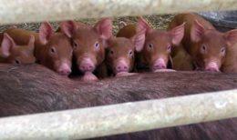 Сходство организмов человека и свиньи