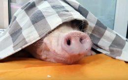 Строение носа свиньи