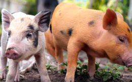 Почему свиньи хрюкают