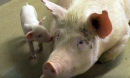 Насколько выгодно держать свиней