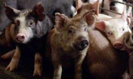 Продуктивность свиноматок и племенная работа