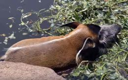 Африканские кистеухие свиньи