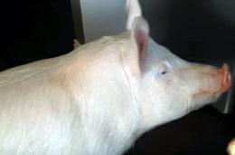 Про уржумскую породу свиней