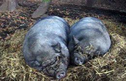 Свиньи корейской породы