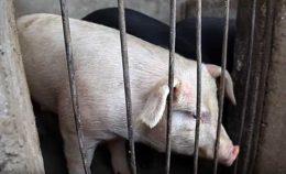 Глисты у свиньи: симптомы и лечение