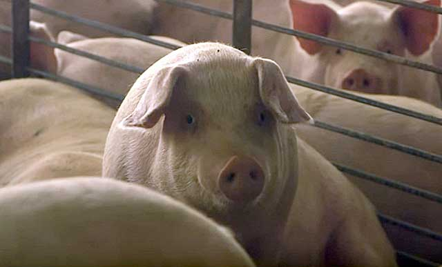 Свиноводство - выгодное дело